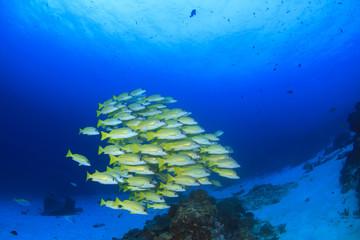 School of Snapper fish on underwater coral reef