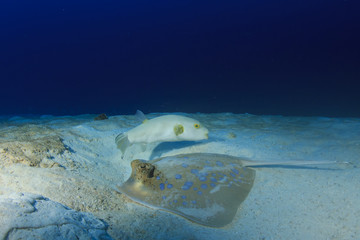Bluespotted Stingray and Puffer fish
