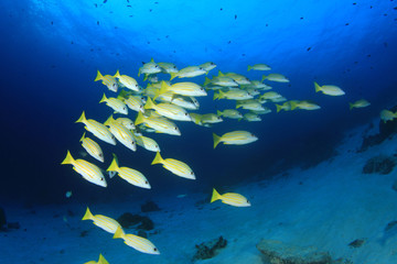 School of Snapper fish on underwater coral reef