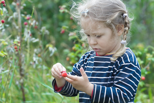 Curious two years old blonde girl picking red garden raspberry fruits