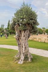 Olive tree town park Kiti Larnaca Cyprus