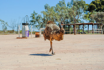running emu (Dromaius novaehollandiae) in Australian outback
