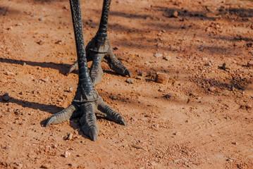 Emu (Dromaius novaehollandiae) feet with claws Mareeba, North Queensland, Australia
