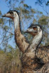 Couple of emus (Dromaius novaehollandiae) in australian outback Mareeba, North Queensland, Australia