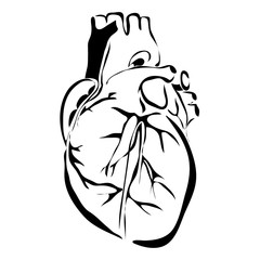 Outline heart human internal organs vector image