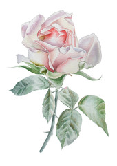 Illustration with realistic rose. Watercolor.