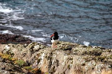 Bird in the wilderness of the Faroe Islands