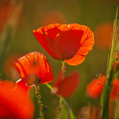 Red poppy on a green background at sunset. Close up