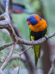 beautiful parrot Coconut Lorikeet