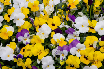 mixed pansies in colorful spring garden