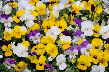 gemengde viooltjes in kleurrijke lentetuin