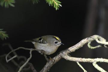 Little bird Regulus regulus against a dark background sitting on a tree