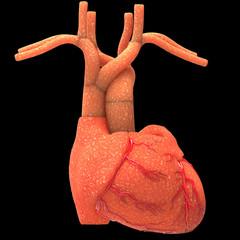 Human Body Organs (Heart)
