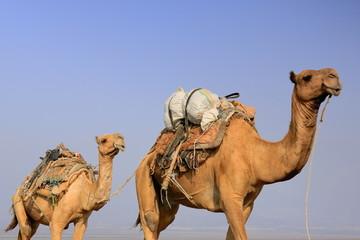 Camel caravan led by afar herders. Danakil-Ethiopia. 0268