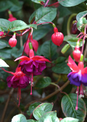 Fuschia flower, purple and pink flowers close up