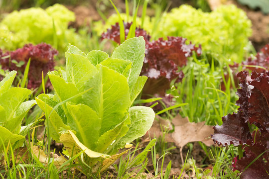 Lettuce garden close up view. Healthy organic nutrition cultivated in the soil.