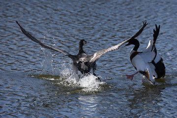 Bernacle Goose vs. Shelduck