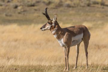 Poster de jardin Antilope Pronghorn Antelope Buck