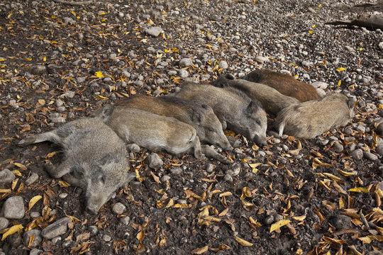 Wildschweine bei der Siesta