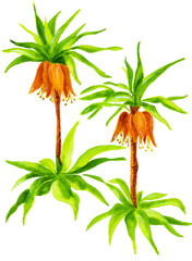Imperial Fritillaria. Watercolor illustration of Fritillaria imperialis, isolated on white background
