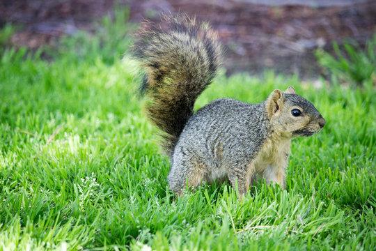 Western Grey Squirrel