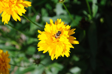 Honey bee on a Coreopsis flower.
