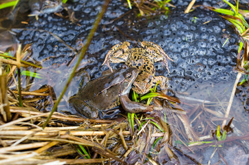 Copulation of the frog and frog spawn in pond