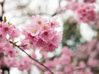Sakura flower early bloom in mid march, Tokyo, Japan
