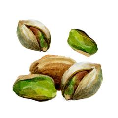 Watercolor pistachio isolated