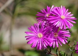 Bouquet de fleurs de ficoïde