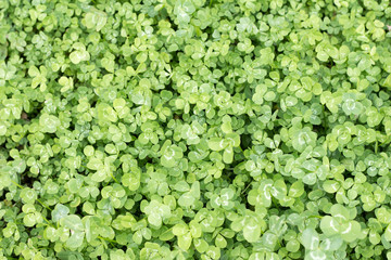 Clover leaves taken from overhead perspective in ful frame
