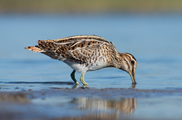 Common snipe is feeding