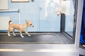 Dog running hydrotherapy treadmill in clinic