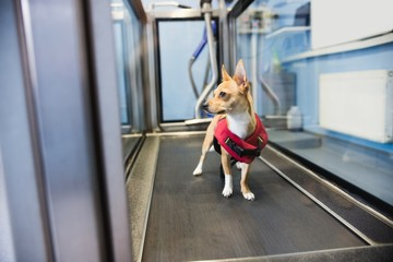 Dog on hydrotherapy treadmill in clinic