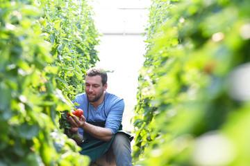 Bauer erntet reife Tomaten im Gewächshaus - Arbeitet auf dem Bauernhof in der Landwirtschaft