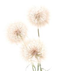 Three dandelions.