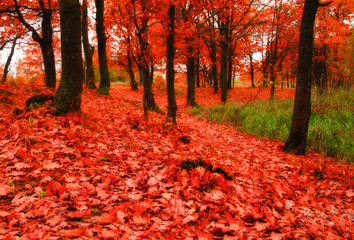 Poster Cuban Red Autumn oak woodland in cloudy weather - autumn colorful landscape with fallen autumn leaves. Autumn landscape view.