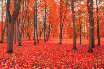 Autocollant pour porte Rouge traffic Autumn cloudy colorful landscape in foggy weather - autumn park with bare trees and fallen autumn leaves. Autumn landscape view.