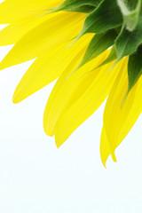 ひまわりの黄色い花びら