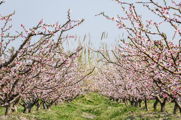 Beautiful pink peach blossom blooming in the orchard