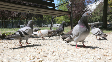 doves and pigeons hungry eat the crumbs in the public park