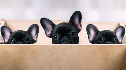 Three puppies look out from the enclosure. French Bulldog Puppies. Black, brindle color. Elite, pedigree dogs. Big ears