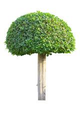 Bonsai tree isolated on white background, Green tree.