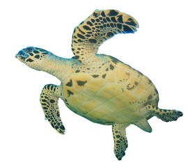 Hawksbill Sea Turtle isolated white background