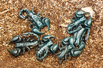 The animals are poisonous scorpion shaped like a crab.