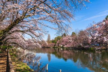 東京 桜が咲く井の頭公園