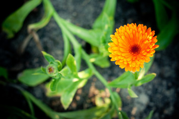 Calendula or English Marigold in afternoon light.
