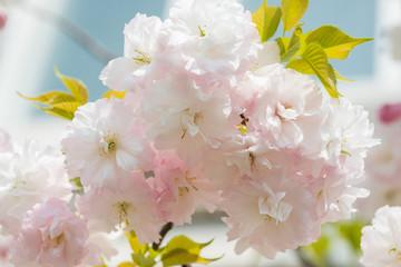 Pink Cherry Flowers blooming