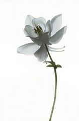 Trauerkarte - weiße Akelei
