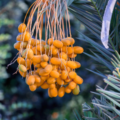 Dates on the palm